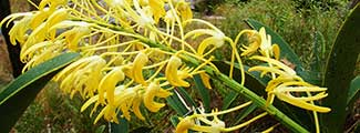 Banner-yellow-orchid.jpg